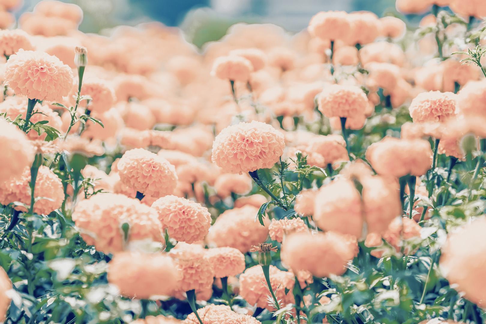 Ringelblumenblüten-Extrakt (FloraGlo®)