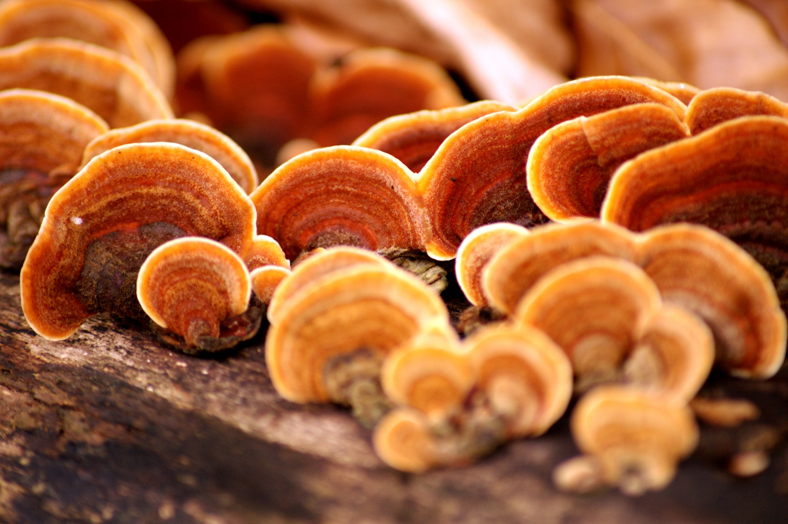 Ganoderma lucidum-Extrakt (Reishi)